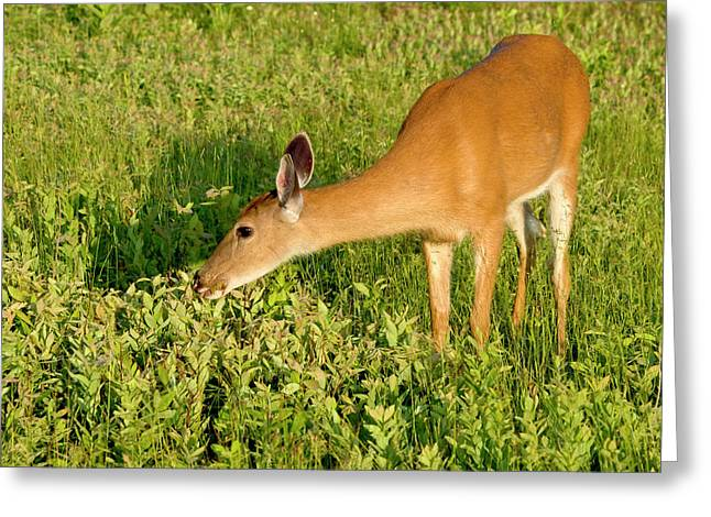 Female Deer Eating Greeting Card by John Radosevich