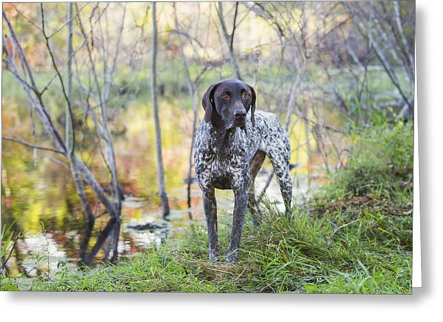 American Shorthair Greeting Cards - Female German Shorthair Pointer Greeting Card by Lynn Stone