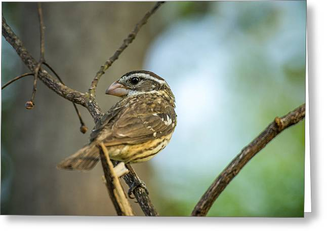 Female Body Greeting Cards - Female Grossbeak Looking Back Greeting Card by Douglas Barnett