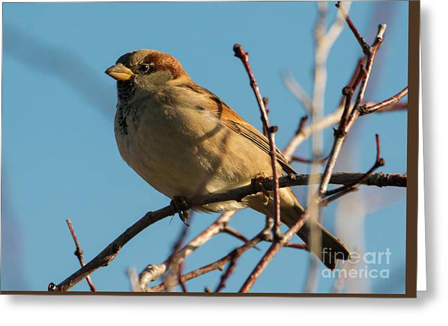Female House Sparrow Greeting Card by Mike Dawson