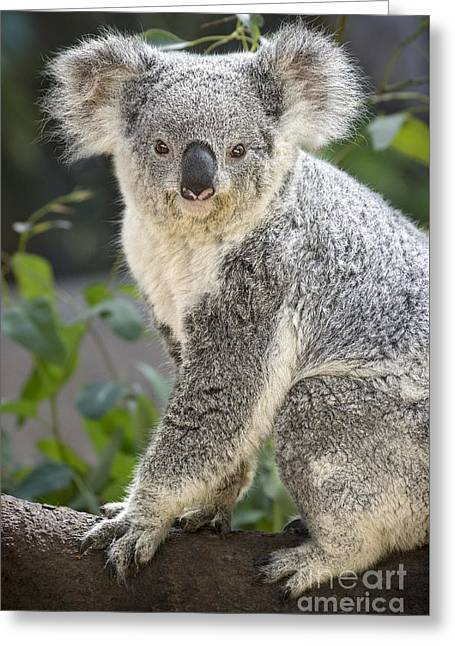 Female Koala Greeting Card by Jamie Pham