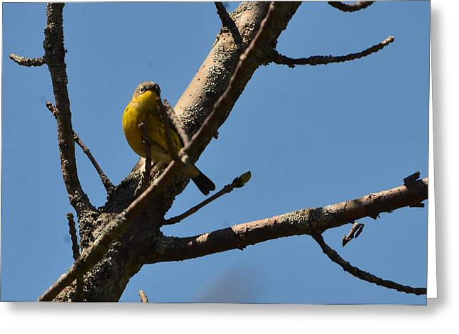 Magnolia Warbler Greeting Cards - Female Magnolia Warbler Greeting Card by Chris Tennis