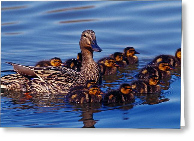 Water Fowl Greeting Cards - Female Mallard Duck With Chicks Greeting Card by Panoramic Images