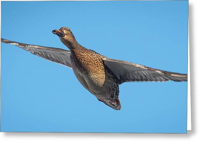Female Mallard In Flight Greeting Card by Paul Freidlund