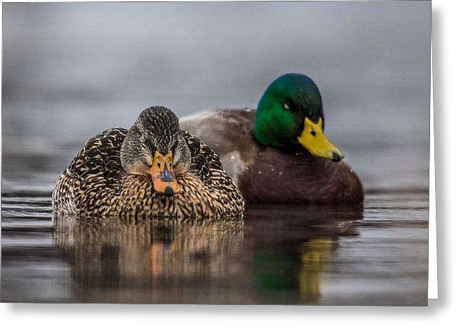 Hunting Cabin Photographs Greeting Cards - Female Mallard Greeting Card by Paul Freidlund
