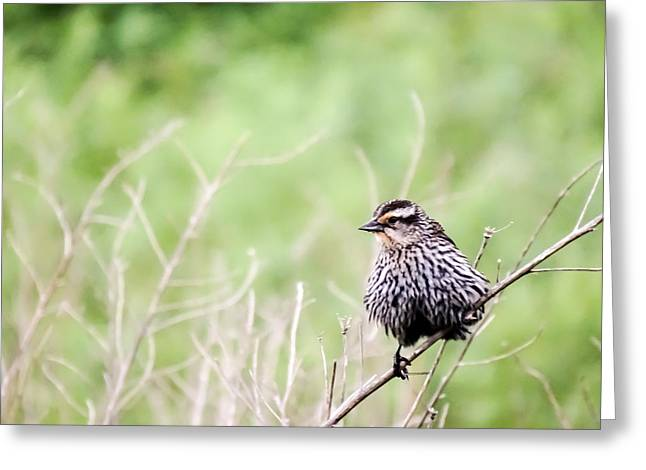 Bird On A Stem Greeting Cards - Female Redwing Blackbird on a Stem Greeting Card by Cynthia Woods