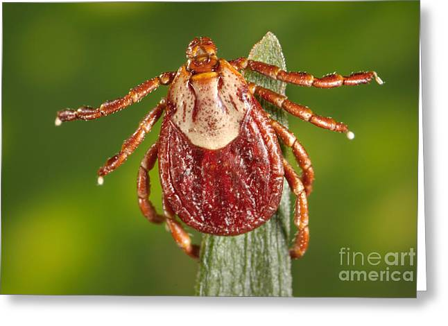 Arachnida Greeting Cards - Female Rocky Mountain Tick Greeting Card by Science Source
