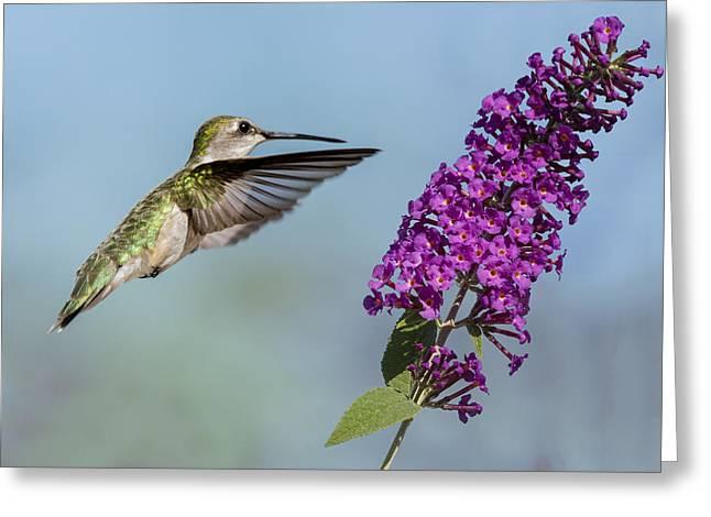 Zoology Greeting Cards - Female Ruby Throat Hummingbird 1 2015 Greeting Card by John Radosevich