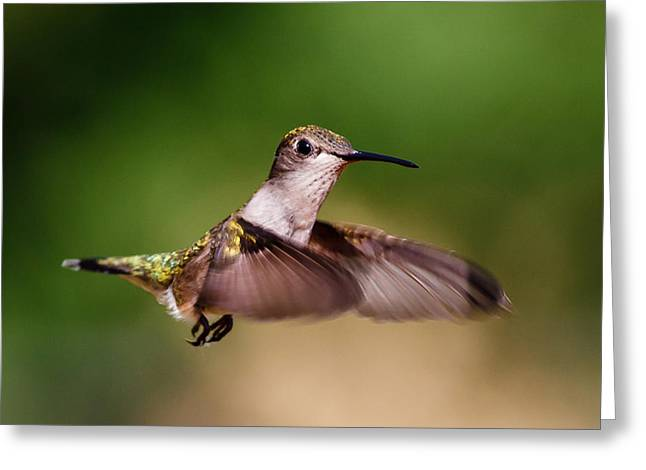 Flying Animal Greeting Cards - Female Ruby-throated Hummingbird Greeting Card by Buddy Woods
