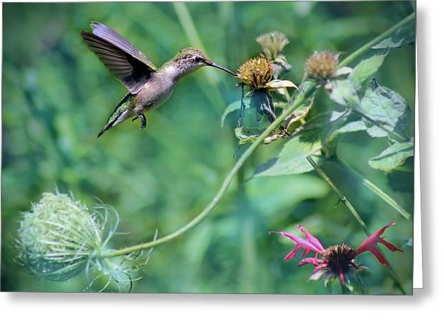 Female Ruby-throated Hummingbird Greeting Card by Karen Adams