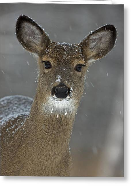 Winter Views Greeting Cards - Female White-tailed Deer, Odocoileus Greeting Card by John Cancalosi