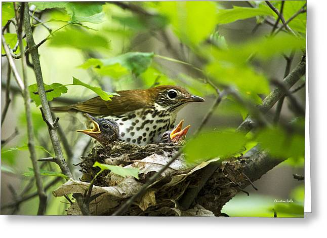 Mother Gift Greeting Cards - Female Wood Thrush With Chicks In Nest Greeting Card by Christina Rollo