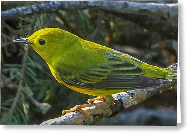 Alaska Greeting Cards - Female Yellow Warbler Greeting Card by Dee Carpenter