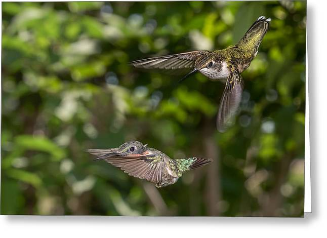 Flying Animal Greeting Cards - Females revenge Greeting Card by Alec Hickman