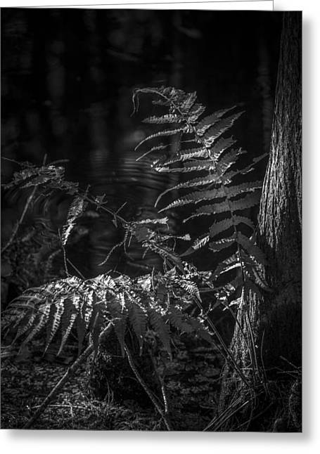 Fern And Cypress B/w Greeting Card by Marvin Spates