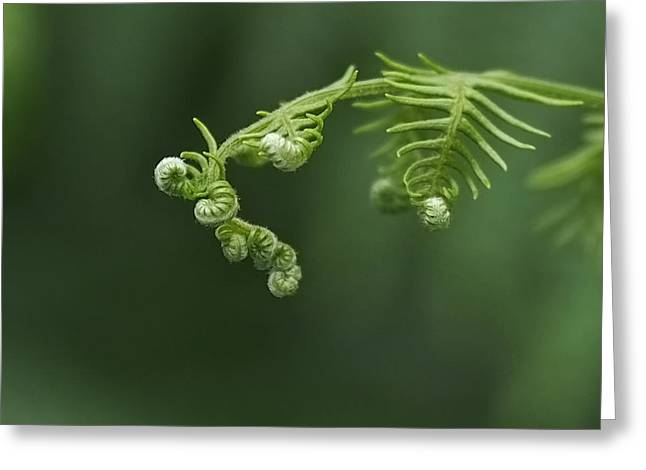 Fern Greeting Cards - Fern Frond Awakening Greeting Card by Rona Black