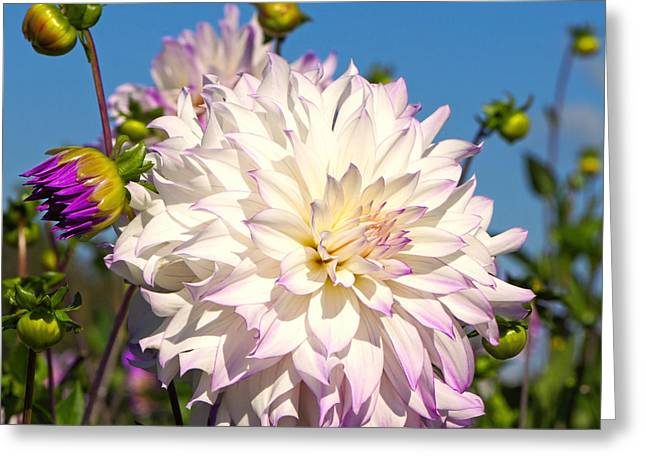Dinner-plate Dahlia Greeting Cards - Ferncliff Illusion Giant Dahlia Greeting Card by Sharon  Talson