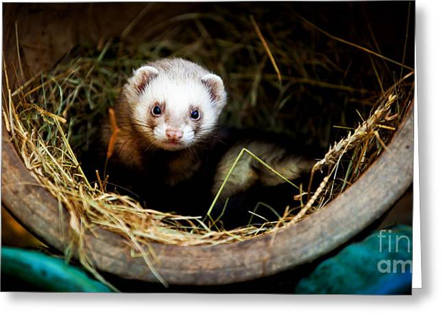 Ferret Greeting Cards - Ferret home in flower pot  Greeting Card by Simon Bratt Photography LRPS