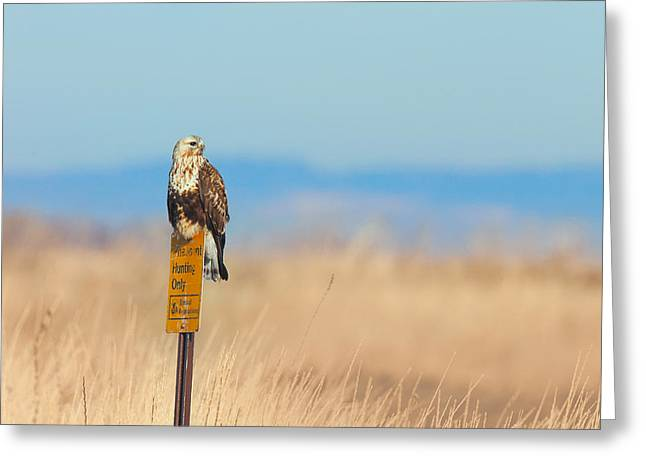 Zoology Greeting Cards - Ferruginous Hawk - Tule Lake California Greeting Card by Ram Vasudev