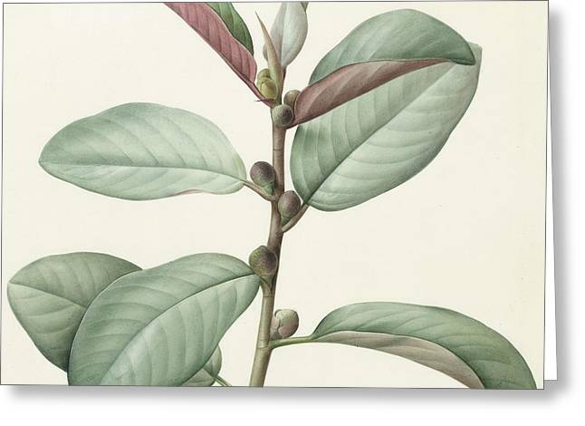 Fresh Green Drawings Greeting Cards - Ficus Rubeginosa Greeting Card by Pierre Joseph Redoute