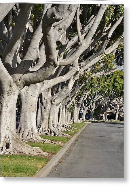 Tree Roots Greeting Cards - Ficus Trees II Greeting Card by Linda Brody