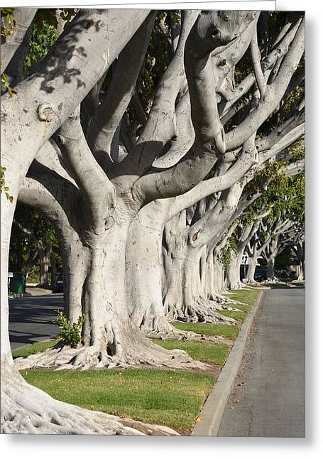 Roadway Greeting Cards - Ficus Trees III Greeting Card by Linda Brody