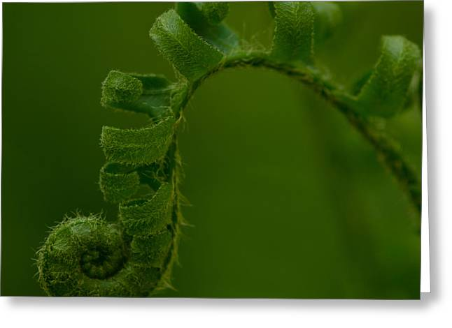 New Earth Greeting Cards - Fiddlehead 1 Greeting Card by Maria Suhr