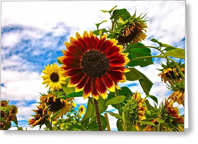 Sunflower Photograph Greeting Cards - Field Day Greeting Card by Gwyn Newcombe