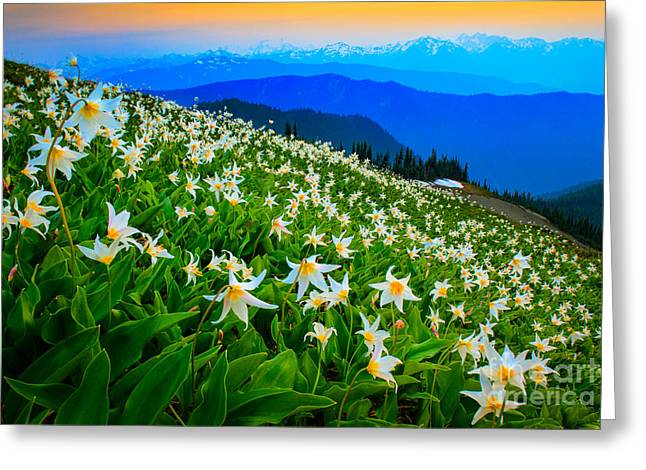 Field Of Avalanche Lilies Greeting Card by Inge Johnsson