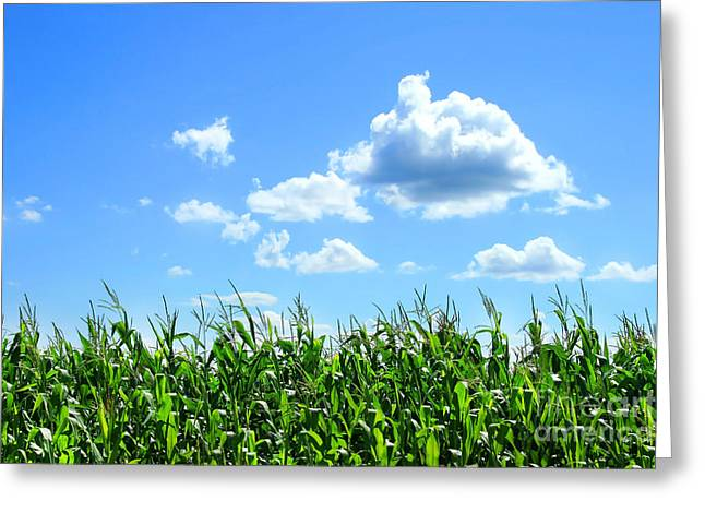 Blue Green Greeting Cards - Field of corn in August Greeting Card by Sandra Cunningham