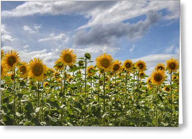 Yellow Sunflower Greeting Cards - Field of Dreams Panorama Greeting Card by Debra and Dave Vanderlaan