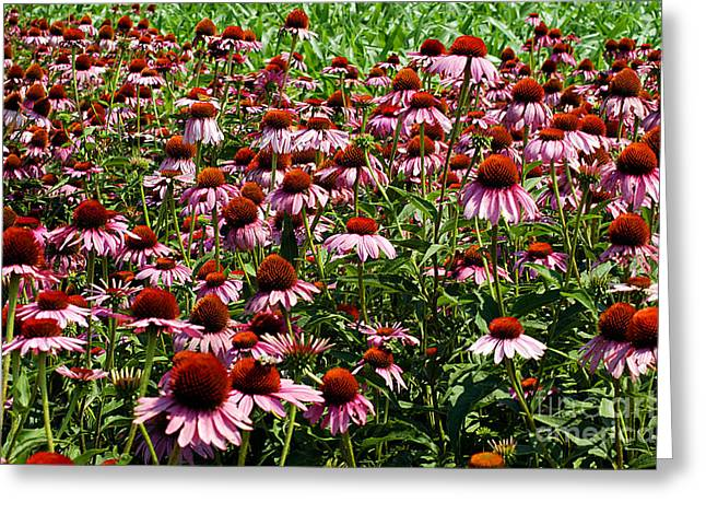 Bruster Greeting Cards - Field of Echinacea Greeting Card by Clayton Bruster