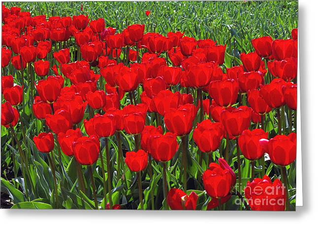 Spring Bulbs Greeting Cards - Field of Red Tulips Greeting Card by Sharon  Talson