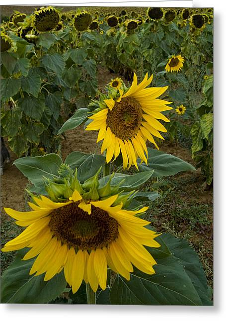 Chianti Greeting Cards - Field Of Sunflowers In Tuscany Greeting Card by Todd Gipstein