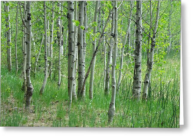 Birch Tree Greeting Cards - Field Of Teens Greeting Card by Donna Blackhall