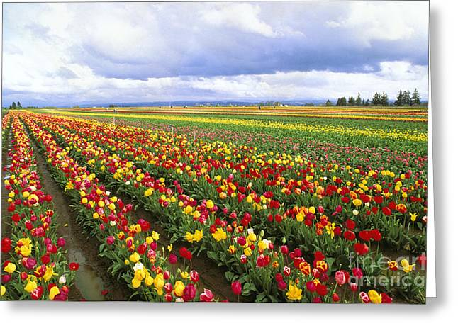 Life Line Greeting Cards - Field Of Tulips Greeting Card by Greg Vaughn - Printscapes