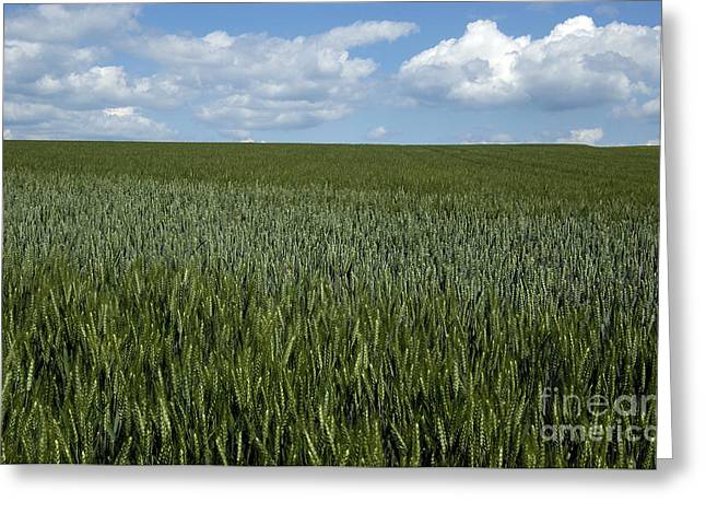 Field of wheat Greeting Card by BERNARD JAUBERT
