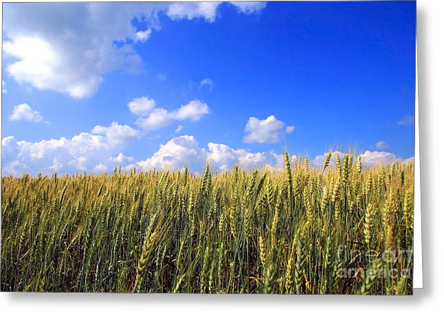 Field Of Wheat  Greeting Card by Sandra Cunningham