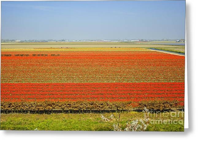 Scenic Greeting Cards - Field with red tulips Greeting Card by Patricia Hofmeester