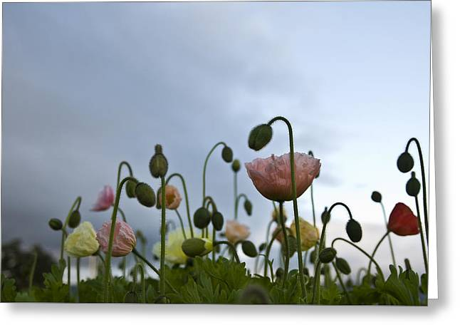 Best Sellers -  - Emergence Greeting Cards - Fields of Poppies Greeting Card by Sally Mellish