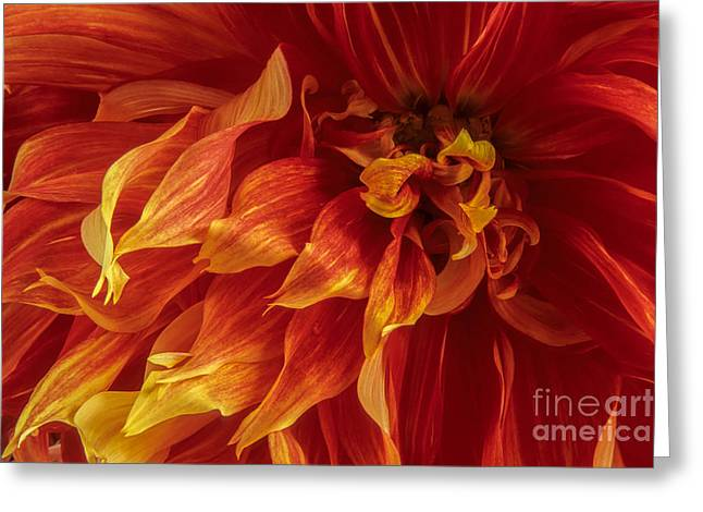 Dinner-plate Dahlia Greeting Cards - Fiery Dahlia Greeting Card by Chris Scroggins