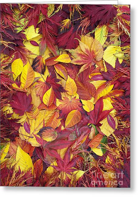 Color Change Greeting Cards - Fiery Foliage Greeting Card by Tim Gainey