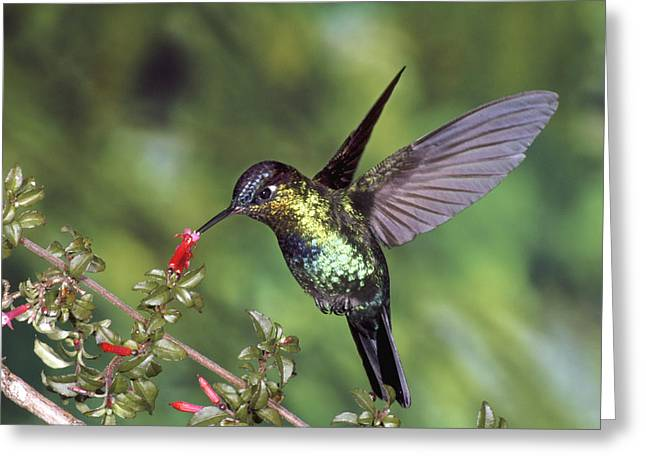Trochilidae Greeting Cards - Fiery-throated Hummingbird Panterpe Greeting Card by Michael & Patricia Fogden