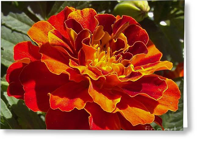 Indiana Flowers Greeting Cards - Fiery Tiny Marigold Bloom    Spring    Indiana Greeting Card by Rory Cubel
