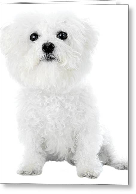 Cows Framed Prints Greeting Cards - Fifi the Bichon Frise in White On White Greeting Card by Michael Ledray