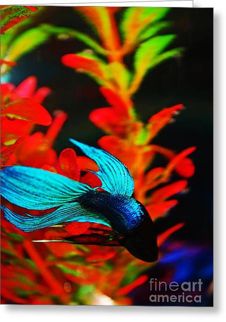 Fighting Betta Greeting Card by Don Baker