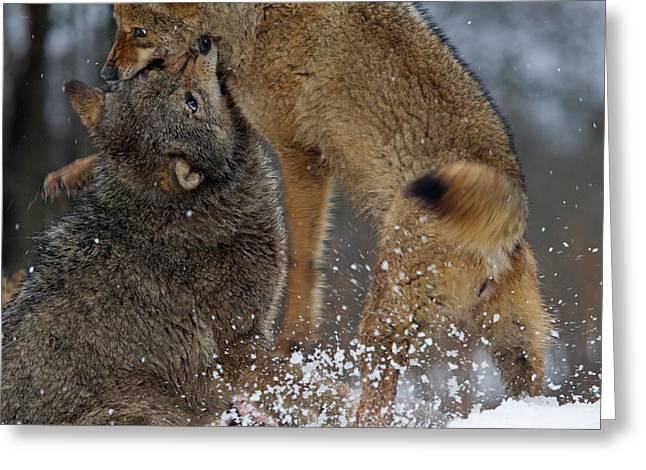 Fighting Wolves Greeting Card by Ronald Jansen