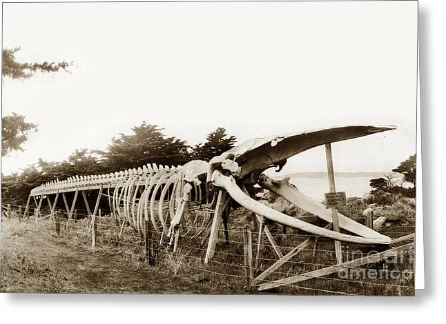 Point Lobos Greeting Cards - Finback whale skeleton erected by Japanese abalone divers at Point Lobos c. 1908 Greeting Card by California Views Mr Pat Hathaway Archives