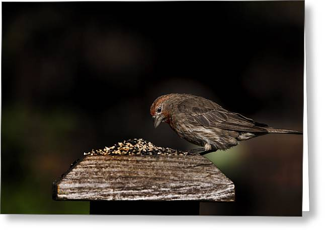 Biology Greeting Cards - Finch on a Fence II Greeting Card by K Powers  Photography