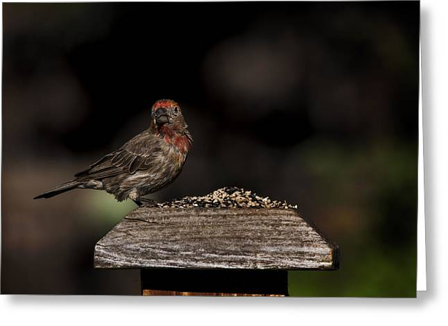 Biology Greeting Cards - Finch on a Fence III Greeting Card by K Powers  Photography